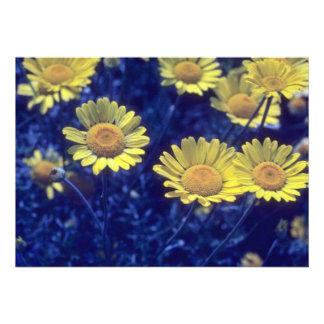 manzanilla tintórea amarilla Anthemis Tinctoria Comunicados Personalizados