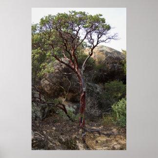 Manzanita tree print