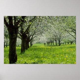 manzanos Blancos en las flores de la primavera Posters