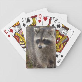 Mapache, lotor del Procyon, la Florida, los Barajas De Cartas