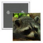 Mapache soñoliento - animales de la fotografía de  pin