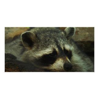 Mapache soñoliento - animales de la fotografía de  tarjeta fotografica personalizada