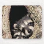 Mapaches del bebé en Procyon de la cavidad del árb Alfombrillas De Raton