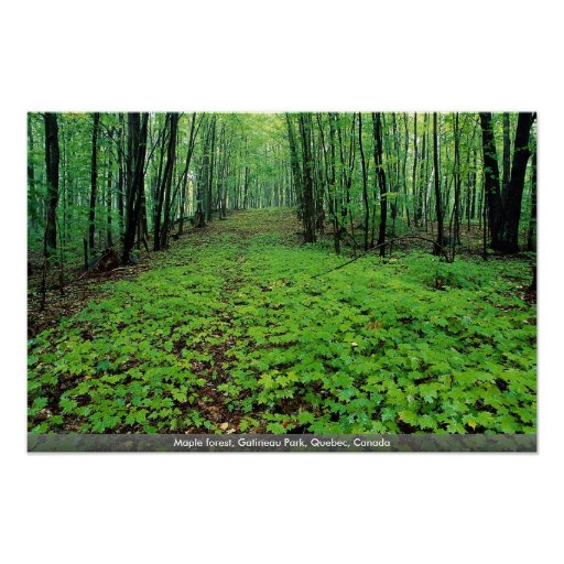 Maple forest, Gatineau Park, Quebec, Canada Poster