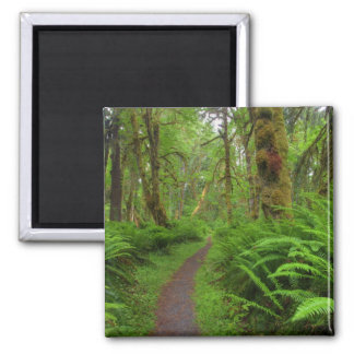 Maple Glade trail, ferns and moss covered Fridge Magnet