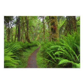Maple Glade trail, ferns and moss covered Art Photo