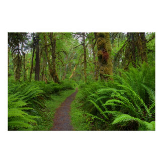 Maple Glade trail, ferns and moss covered Poster