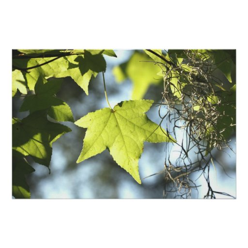 Maple Leaf on Canvas Poster