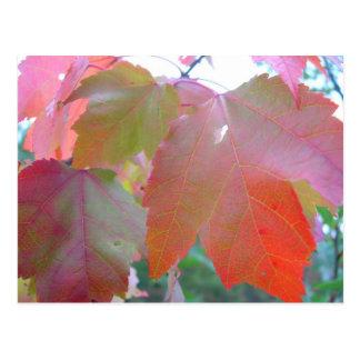 Maple Leaves in Fall, Blank Postcard