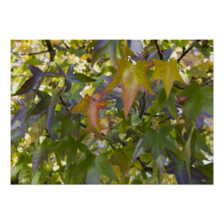 Maple Leaves in the Autumn Poster