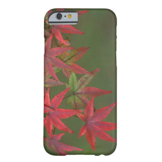 Maple Leaves, Katsura, Kyoto, Japan Barely There iPhone 6 Case