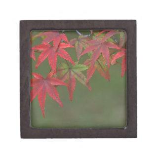 Maple Leaves, Katsura, Kyoto, Japan Jewelry Box