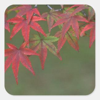 Maple Leaves, Katsura, Kyoto, Japan Square Sticker