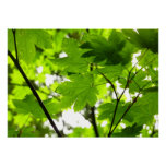 Maple Leaves with Raindrops Poster