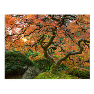 Maple Tree At The Japanese Gardens In Autumn Postcard