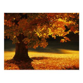 Maple tree , Bennington , Vermont Postcard