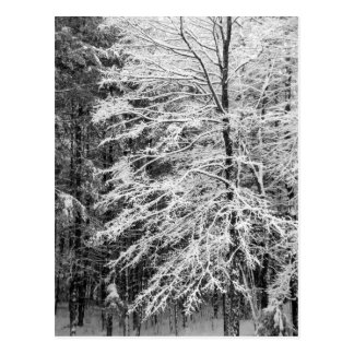 Maple Tree Outlined In Snow Post Card