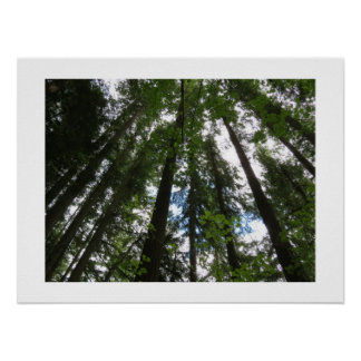 Maple Trees and Douglas Firs Poster