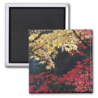Maple trees in autumn color magnet