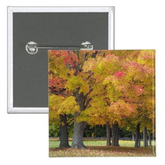 Maple trees in autumn colors, near Concord, 2 Inch Square Button