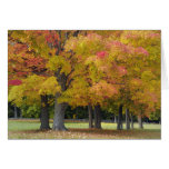 Maple trees in autumn colors, near Concord, Card