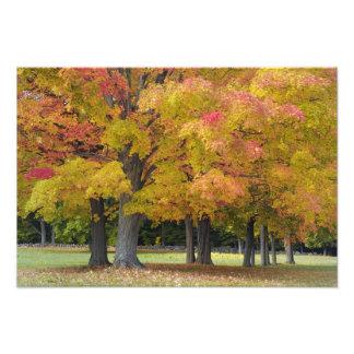 Maple trees in autumn colors, near Concord, Art Photo