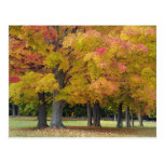 Maple trees in autumn colors, near Concord, Post Card