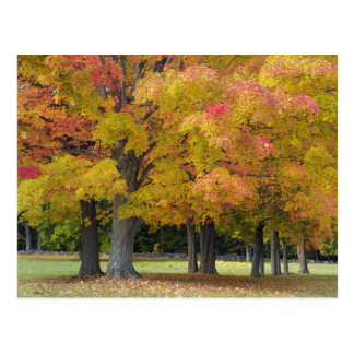 Maple trees in autumn colors, near Concord, Postcard