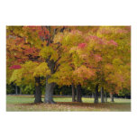 Maple trees in autumn colors, near Concord, Print