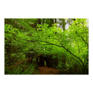 Maple Trees in Redwood Forest National Park Poster