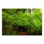 Maple Trees in Redwood Forest Poster