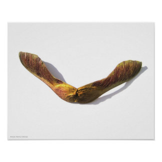 Maple Wings Poster