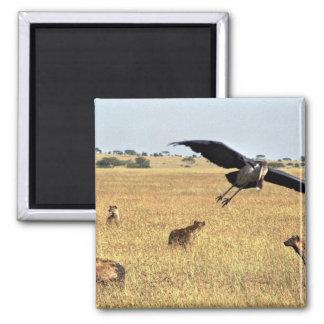 Marabu flying over hyena's head 2 inch square magnet
