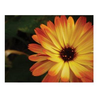 Maravilla de pote amarilla y anaranjada postal
