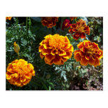 Maravillas anaranjadas postales