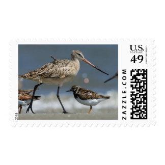Marbled godwit (Limosa fedoa), Little St Simon's Postage Stamps