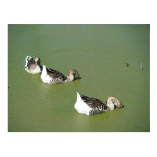 March 4th_Swamp Ducks #3 Postcard