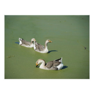 March 4th_Swamp Ducks Canvas Poster