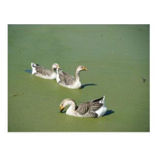 March 4th_Swamp Ducks Postcard