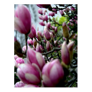 March of Magnolia Buds Postcard