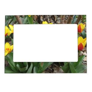 Marco magnético de la foto de los tulipanes marcos magneticos para fotos
