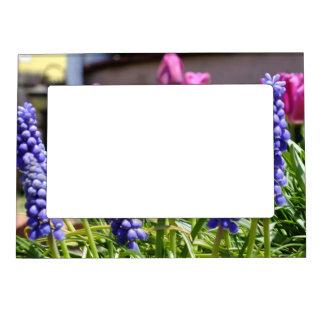 Marco magnético de la foto de los tulipanes del Mu Marcos Magnéticos De Fotos