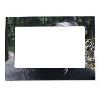 Marco magnético del oso el gruñir marcos magneticos de fotos