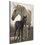 Mare & Colt Canvas Prints