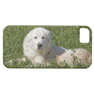 Maremma sheepdog in pasture acts as a livestock iPhone SE/5/5s case
