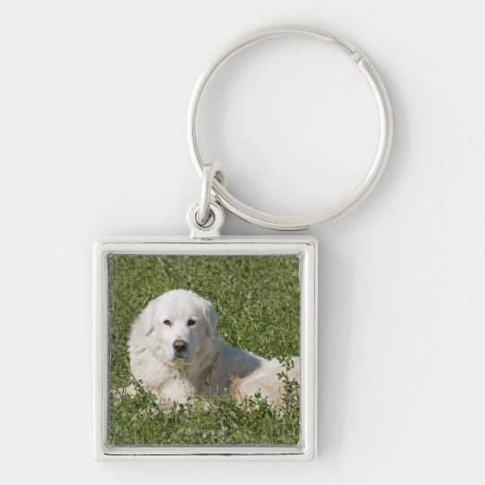 Maremma sheepdog in pasture acts as a livestock keychain
