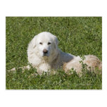 Maremma sheepdog in pasture acts as a livestock postcard