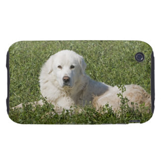 Maremma sheepdog in pasture acts as a livestock tough iPhone 3 case