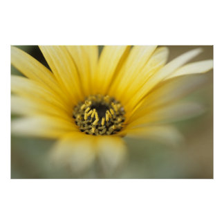 Margarita amarilla de la flor #1 póster