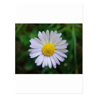 Margarita amarillo-blanca brillante postal